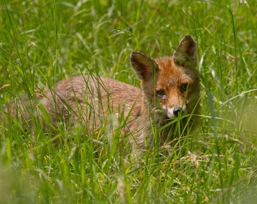 Fox laying in meadow