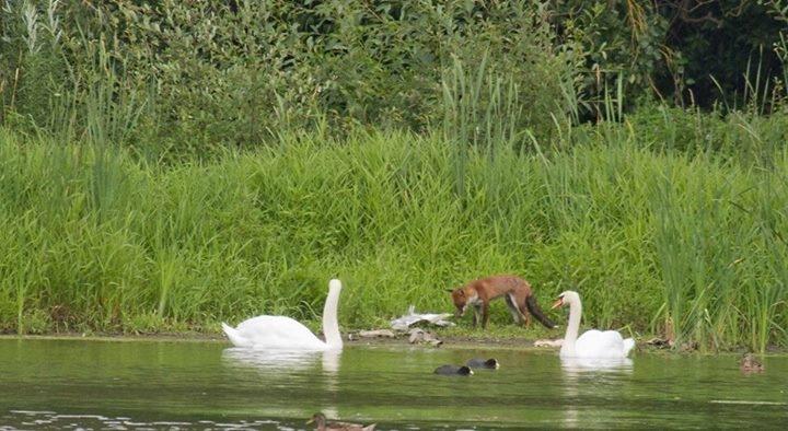 Fox with Heron