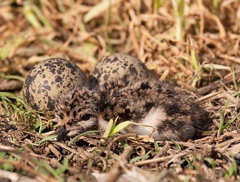 Lapwing eggs and chick