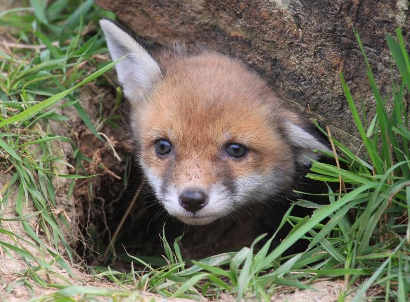 One fox cub