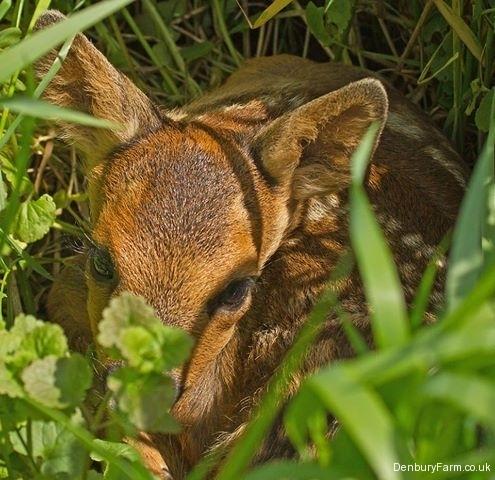 roe-deer-fawn