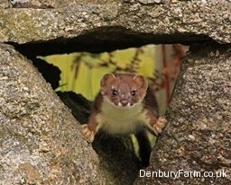 stoat-in-wall