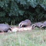 Badgers and Wildlife Watching